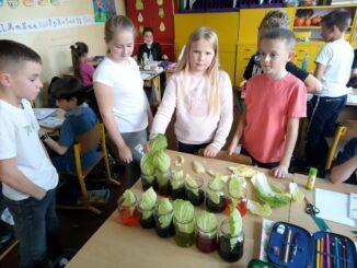 Uczniowie podczas doświadczeń z barwnikami w słoikach z włożonymi do nich liśćmi kapusty.
